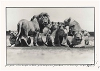 lion pride, 1976 by peter beard