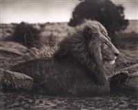 lion on burned ground, serengeti by nick brandt