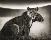 sitting lionesses, serengeti by nick brandt
