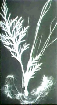 ferns, stems and angel hair, early 20th century by claude tolmer