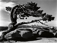 jeffrey pine, sentinel dome, yosemite by ansel adams
