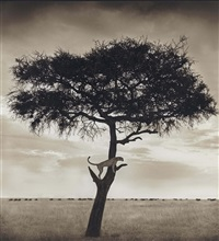 cheetah in tree, masai mara by nick brandt