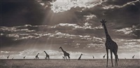 giraffes in evening light, masai mara by nick brandt