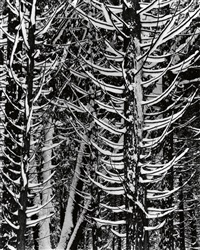 forest detail--winter by ansel adams