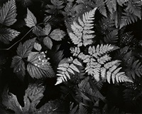 leaves, mt. rainier national park by ansel adams