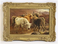 highland cattle watering by john ambrose