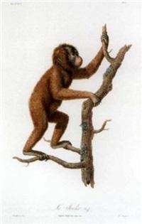 histoire naturelle des singes et des makis by jean-baptiste audebert