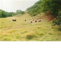 feral sheep, molokai by elaine mayes