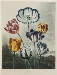 tulips (after reinagle) by richard earlom