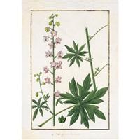 delphinium staphisagria by baldassare cattrani