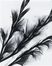 lilien, röntgenaufnahme by herbert w. franke