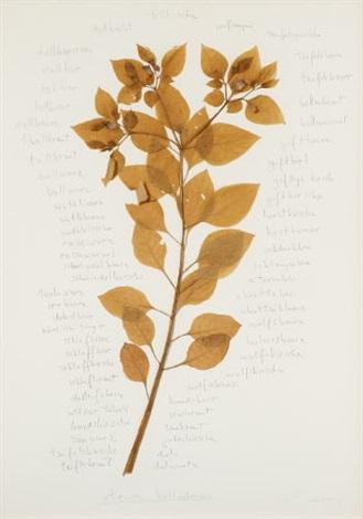 atropa belladonna schwarze tollkirsche by herman de vries