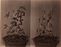 mimosa pudica, sensitive plant (2 works on 1 sheet) by charles t. scowen (scowen & co.)