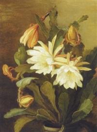 hvid bladkaktus (epiphyllum hybridum) by signe andreasen