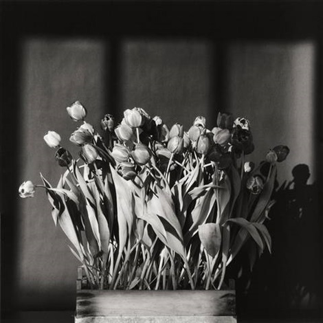 tulips by robert mapplethorpe
