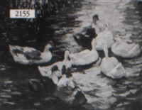 ducks in a pond by jean paul argott