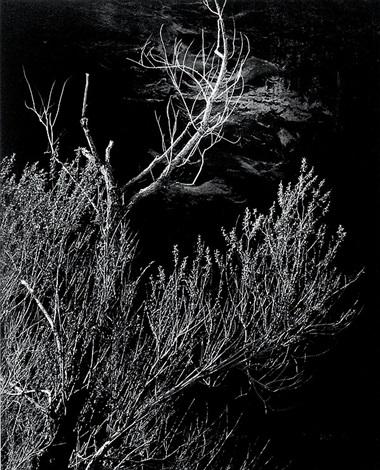 glen canyon trees by brett weston