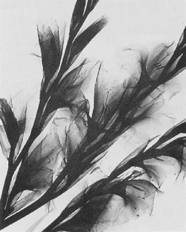 gladiolen by herbert w. franke