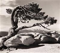jeffrey pine, sentinal dome, yosemite national park by ansel adams