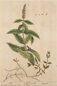 untitled(from curious herbal; 5 works) by elizabeth blackwell