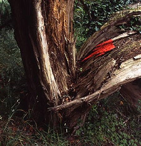poppy petals wrapped around splintered wood held with water. woodperry oxfordshire by andy goldsworthy