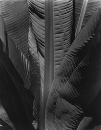 banana tree by imogen cunningham