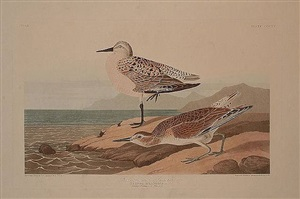 red breasted sandpiper by john james audubon