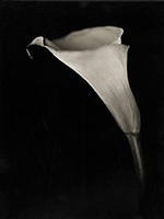 calla lily by chuck close