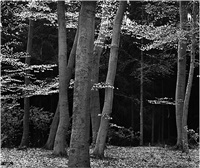 beech forest, netherlands by brett weston