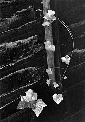 ivy, portland, oregon by minor white
