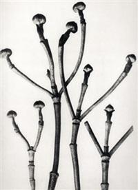 cornus florida, (flowering dogwood shoots) by karl blossfeldt