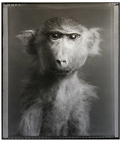 "monkey (""fluffy""): portrait by bettina rheims"