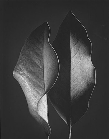 two leaves by ruth bernhard