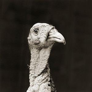 marino, bronze turkey, age 5 by isa leshko