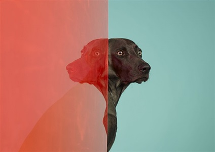 william wegman new photos by william wegman