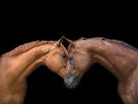 horses nuzzle by bob tabor
