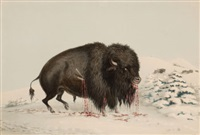 north american indian portfolio, wounded buffalo bull (plate 16) by george catlin