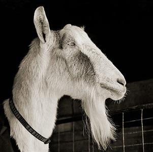 abe, alpine goat, age 21 by isa leshko