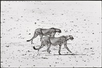 hunting cheetahs on the tarn desert by peter beard