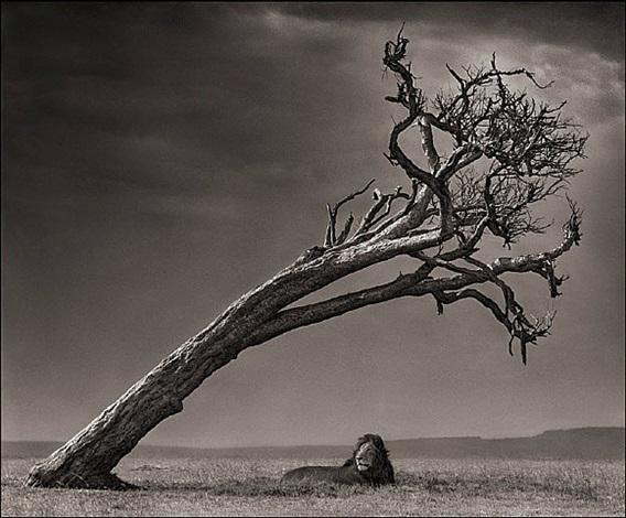 lion under leaning tree, massai mara by nick brandt