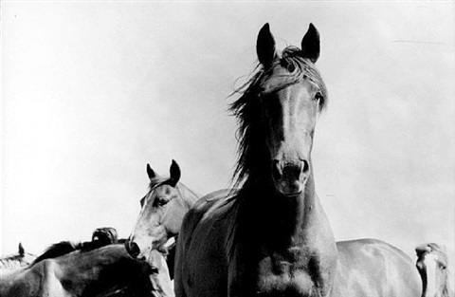 wild horses, argentina, 1968 by rené burri