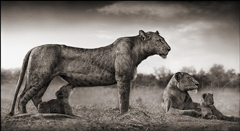 lioness with cub feeding, masai mara 2007 by nick brandt