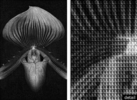 orchid vs mapplethorpe, after mapplethorpe by alex guofeng cao