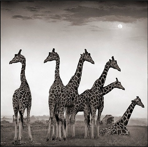 giraffe fan, aberdares by nick brandt