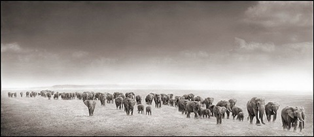 elephant exodus, amboseli by nick brandt