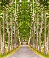 trees, san tropez by laurie victor kay