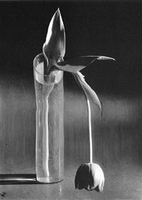 tulipe mélancolique by andré kertész
