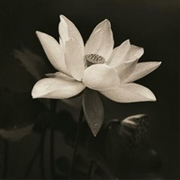 sacred lotus vi by brian english