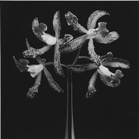 <i>orchids</i>, 1983 / printed 2006 by robert mapplethorpe
