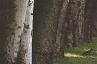 trees & crows 15 by abbas kiarostami